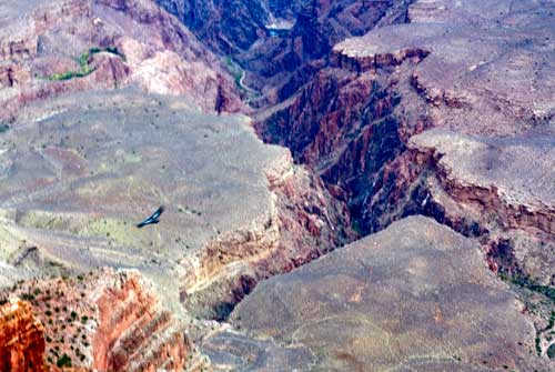 Condor in the Grand Canyon
